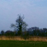 Cormorants on MY river