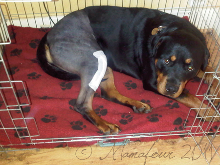 rottweiler post TPLO surgery