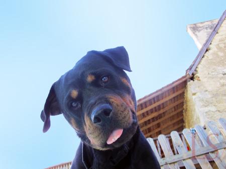 Blue the Rottweiler