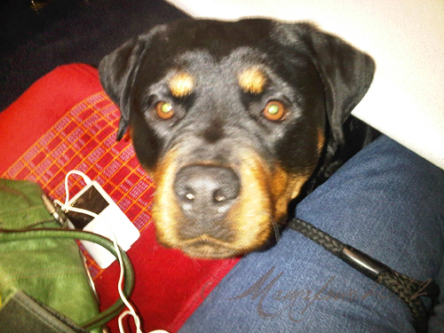 rottweiler on train waiting